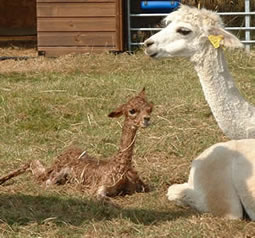 New born alpaca cria    and a proud mum