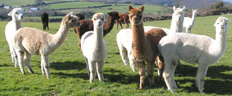Alpaca Girls in their Field