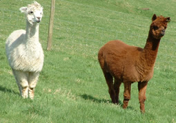 A pure white & tan alpacas