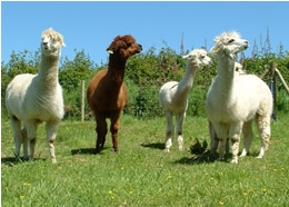 Our alpacas are always on the look out for food